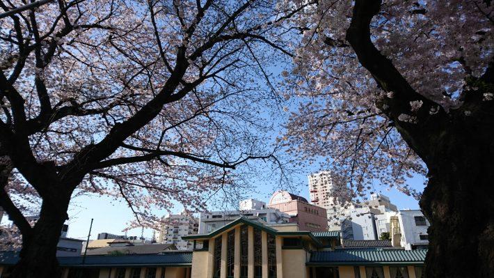 明日館の桜です